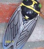 provence cicada, cigale